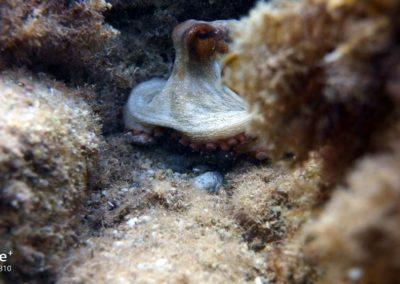 Oktopus versteckt sich